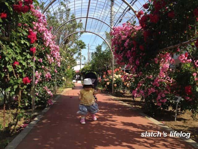 バラのジョギングコースをお散歩する娘