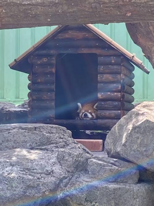お昼寝中のレッサーパンダ